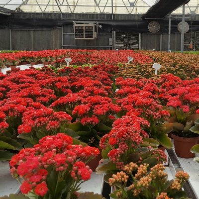 Greenhouse filled with red flowers