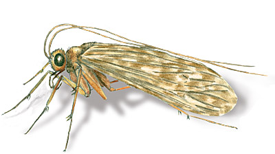Adult Caddisfly drawing