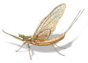 Adult Mayfly drawing