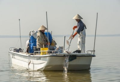 Harvesting shad at Lake Apopka