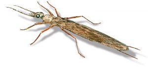Adult stonefly drawing