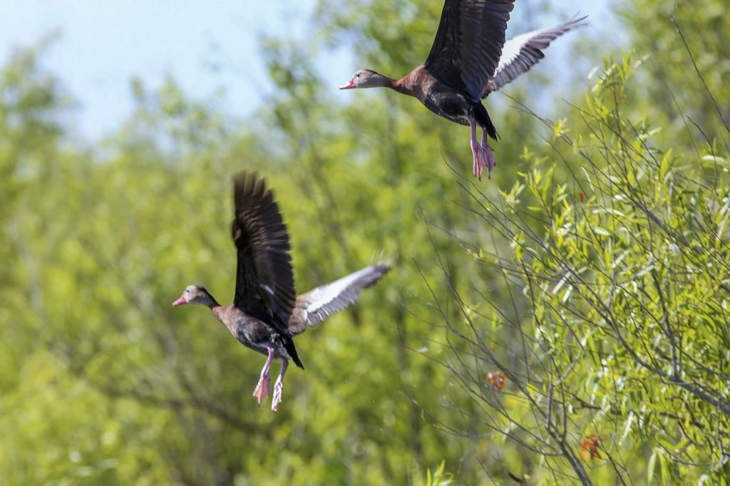Whistling ducks flying