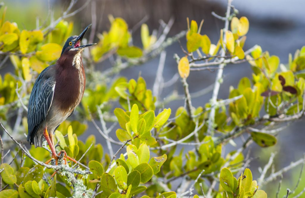 Green heron standing in a mangrove