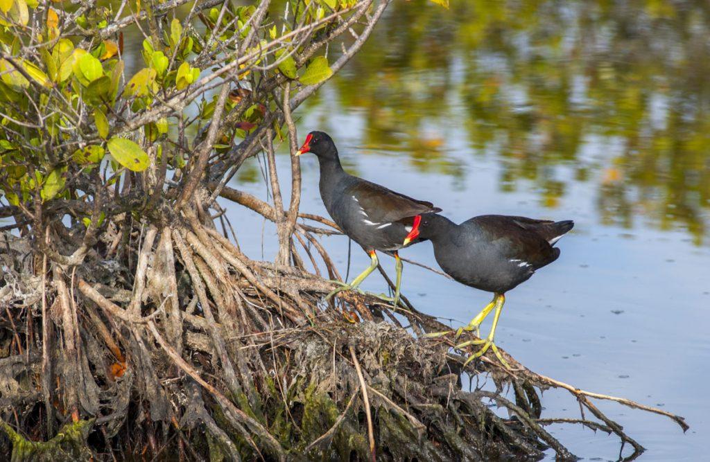 Moorhen standing on mangrove roots