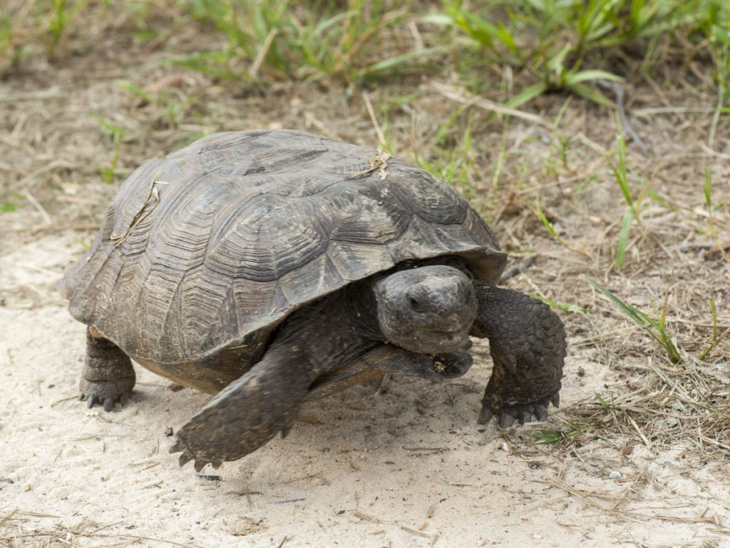 A Gopher tortoise walking