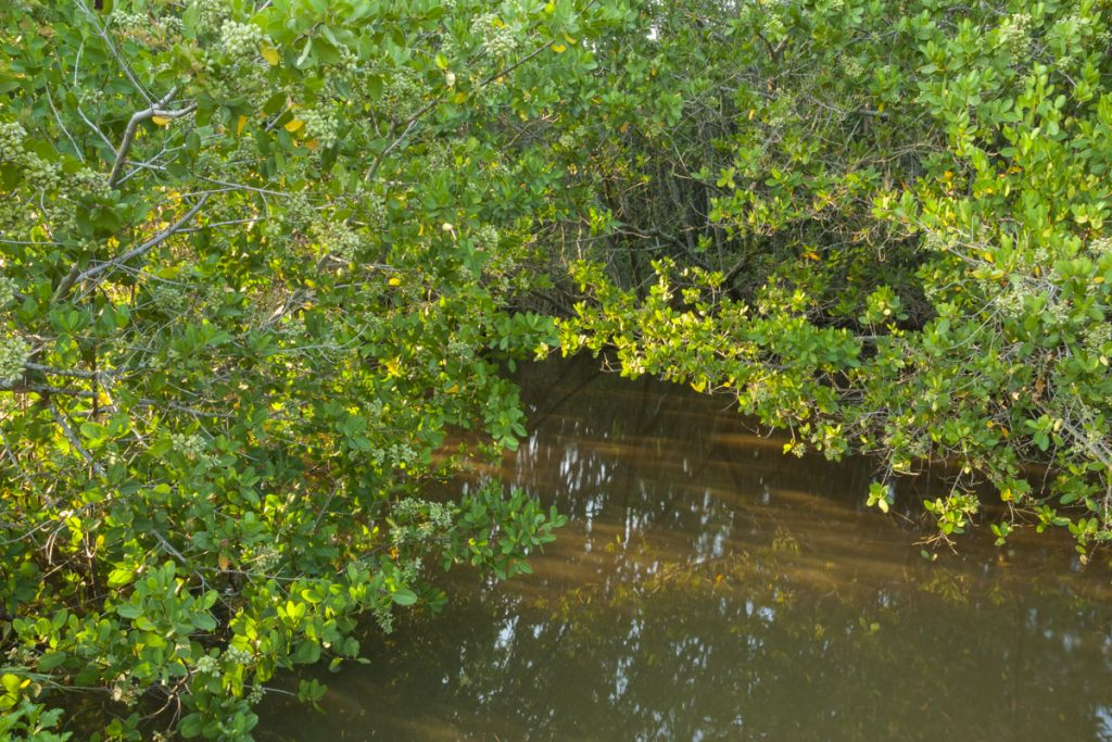 Mangrove trees at Pine Island Conservation Area