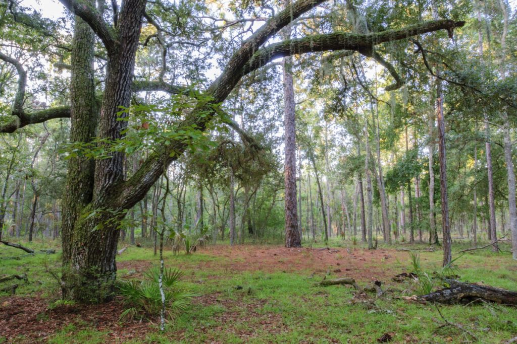 Oak pine trees at Longleaf Flatwoods Reserve
