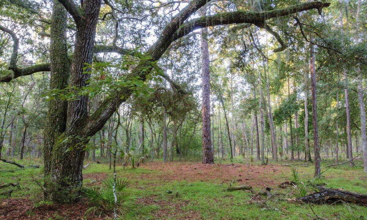 Oak pine trees at Longleaf Flatwoods Reserve