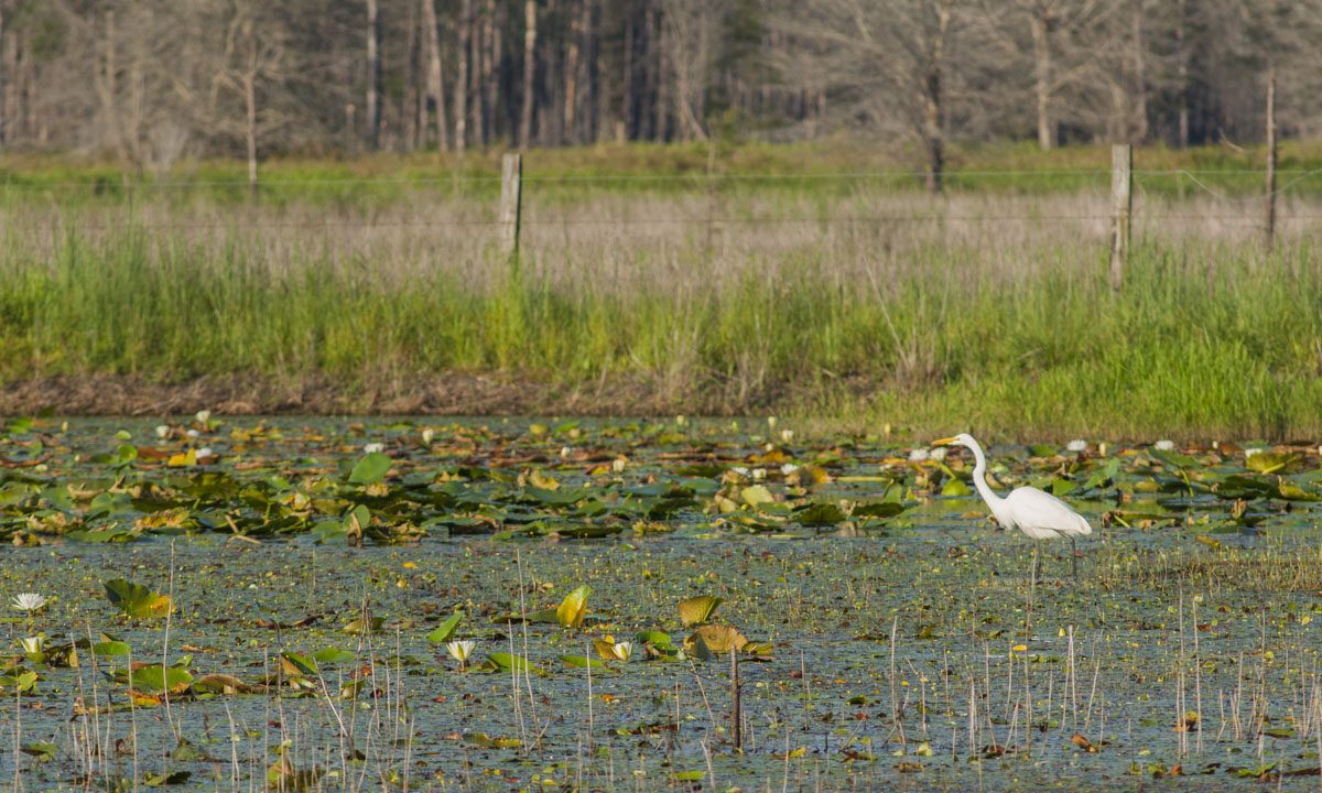 A white bird wading in a wetland