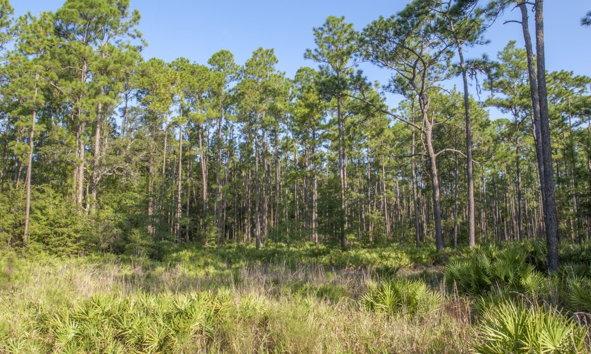 Pine trees and palmetto
