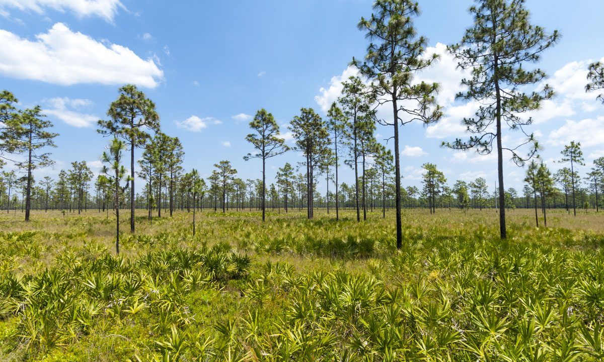 Palmetto and Longleaf pine