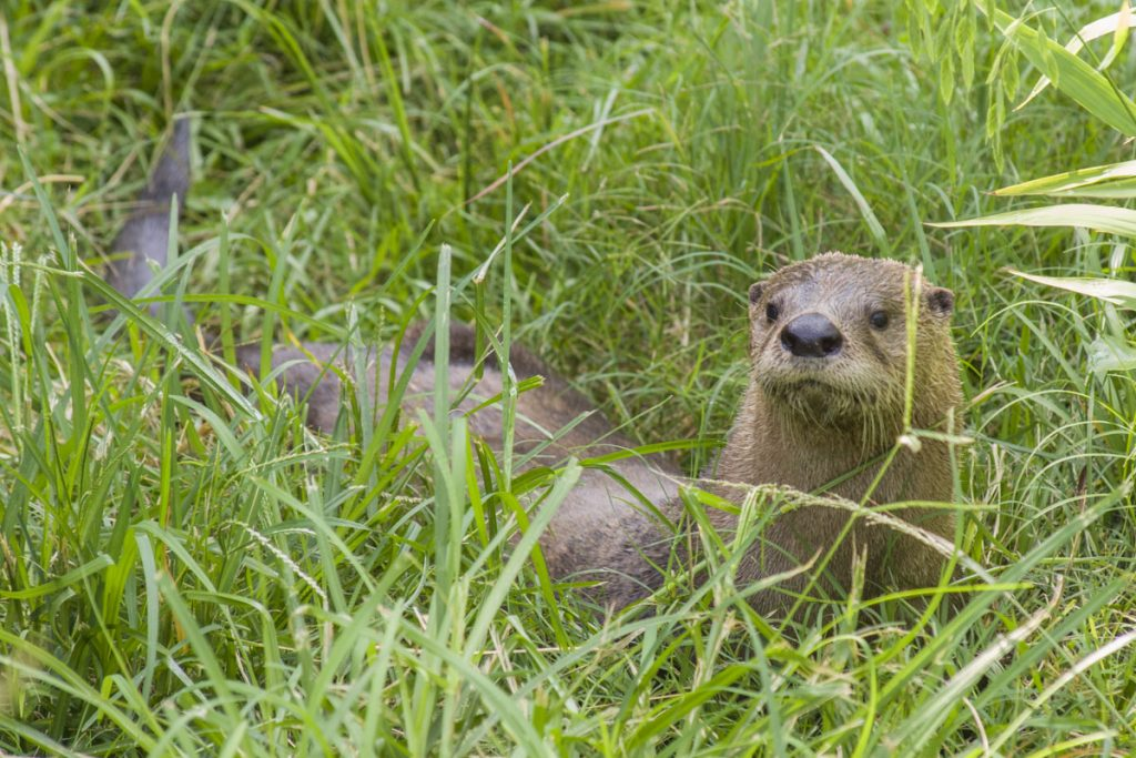 Otter in some grass