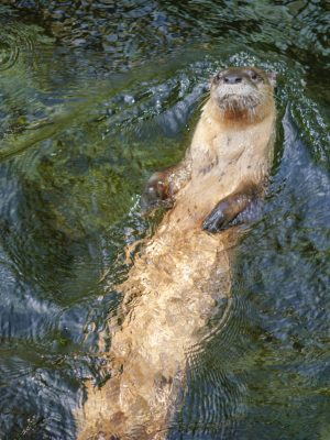 River otter swimming on his back