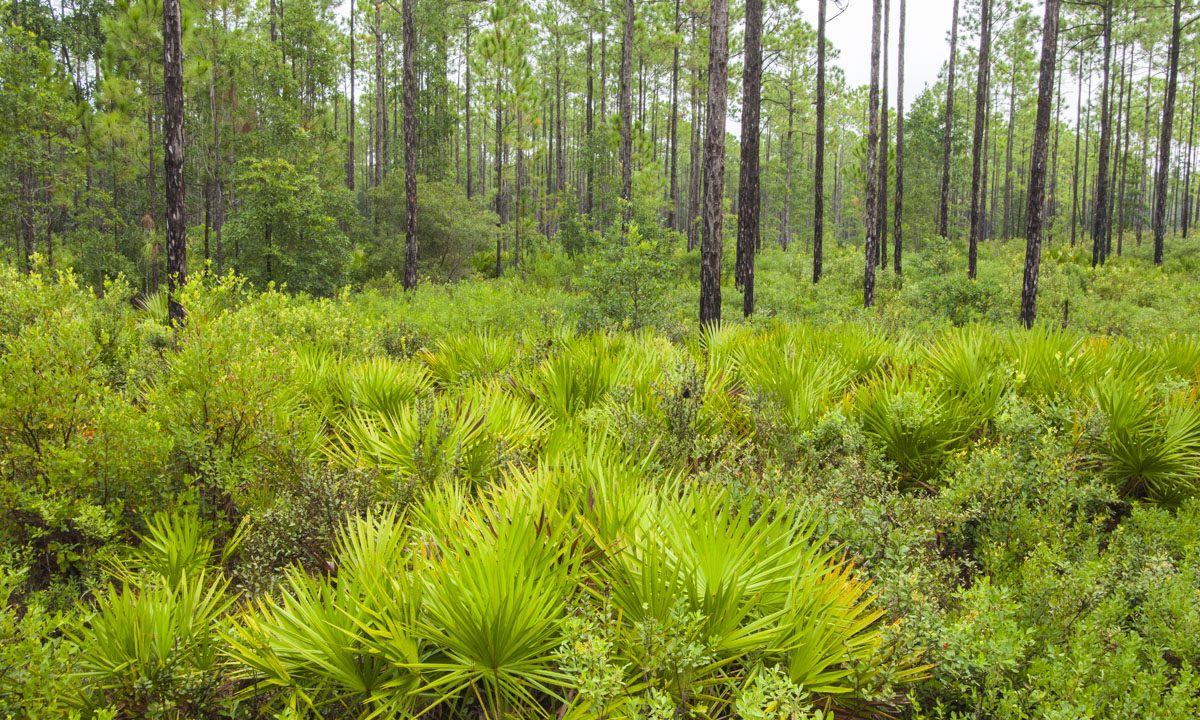 Pine flatwoods at Lake George Conservation Area