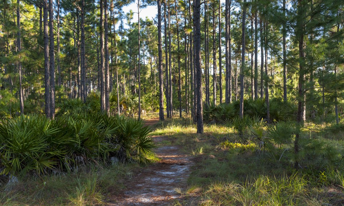 Trail winding through pine trees at the Econlockhatchee Sandhills Conservation Area