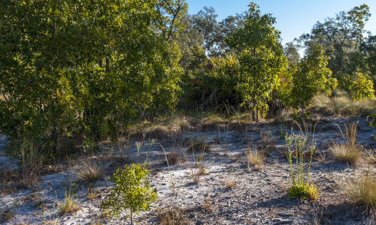 Scrub habitat at Econlockhatchee Sandhills Conservation Area