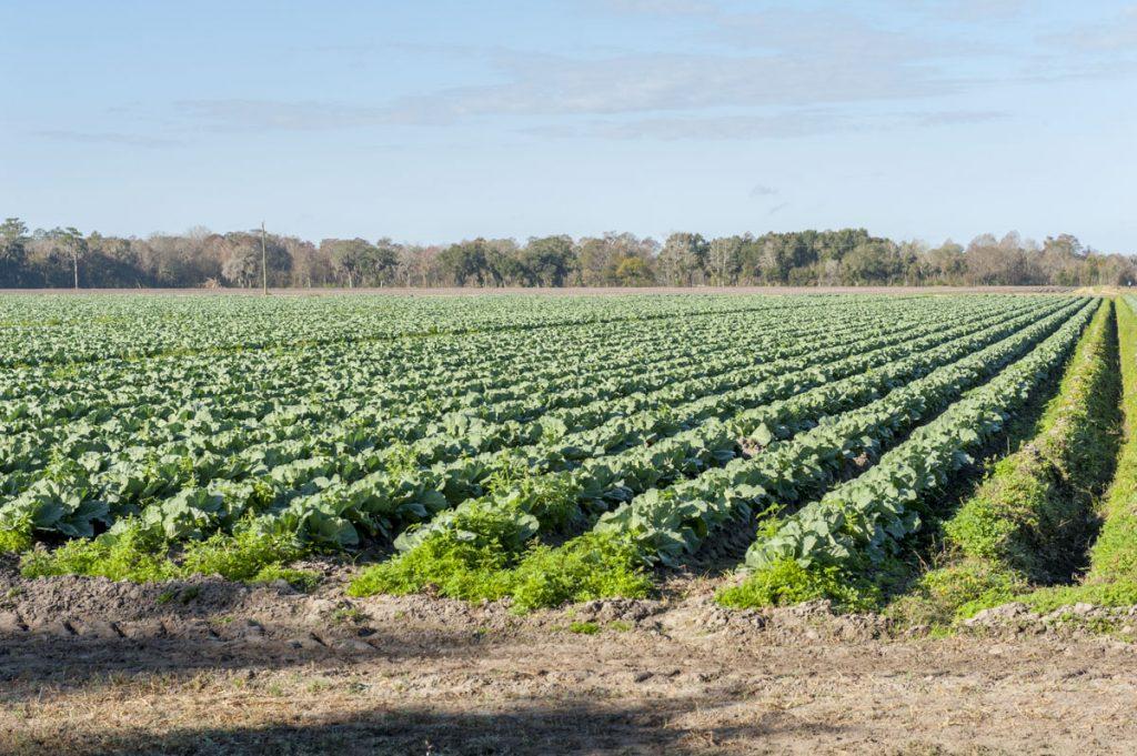 Farm field full of cabbage