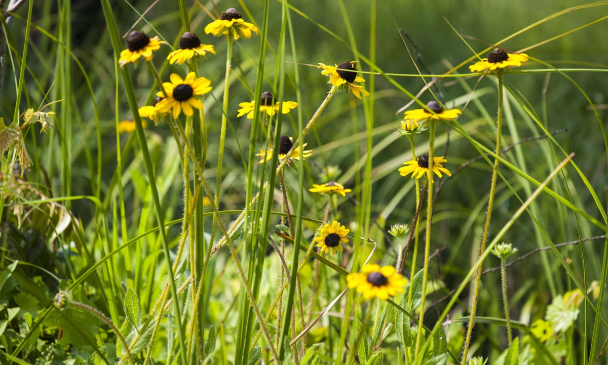 Yellow wildflowers at Canaveral Marshes Conservation Area