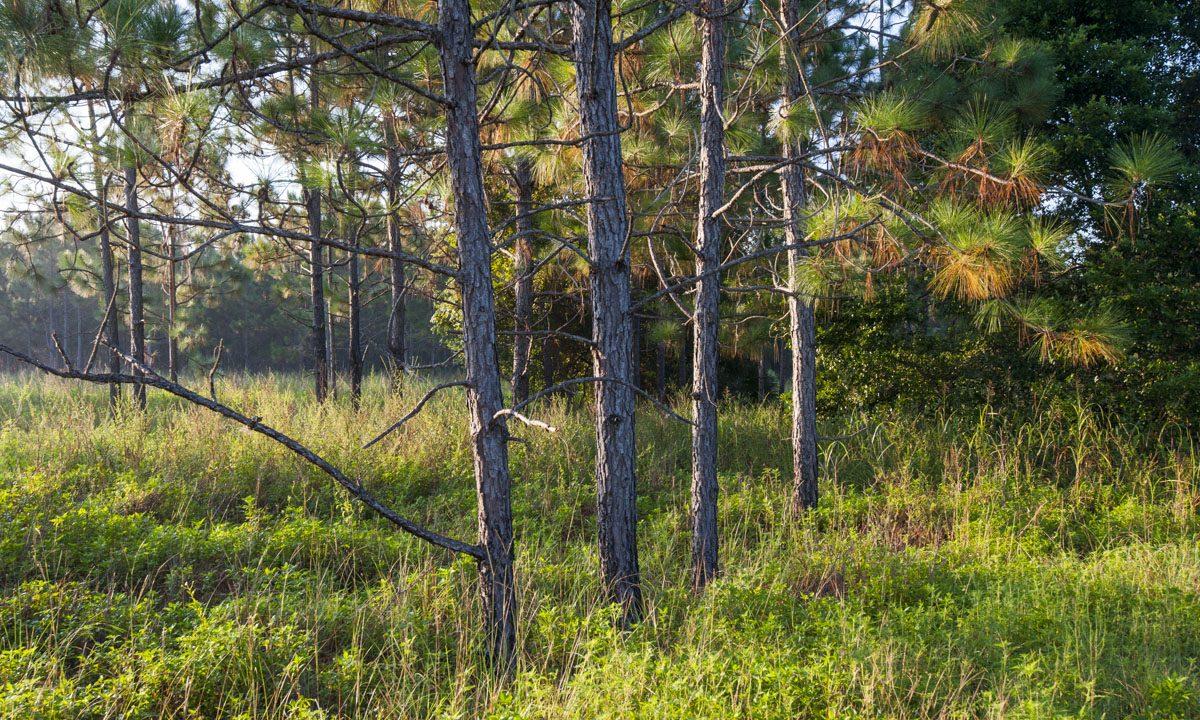 Pine trees at Ocklawaha Prairie Restoration Area