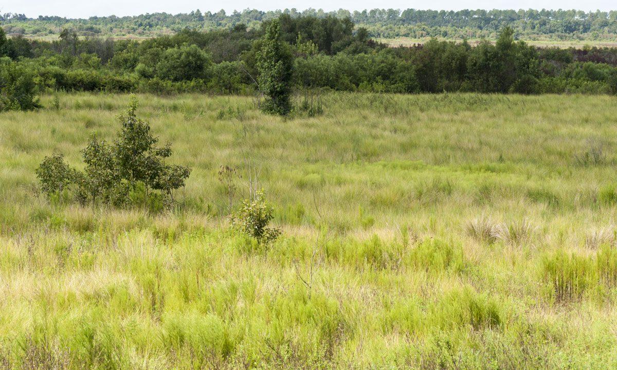 Wiregrass restoration area