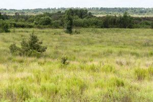 Wiregrass restoration at Ocklawaha Prairie Restoration Area