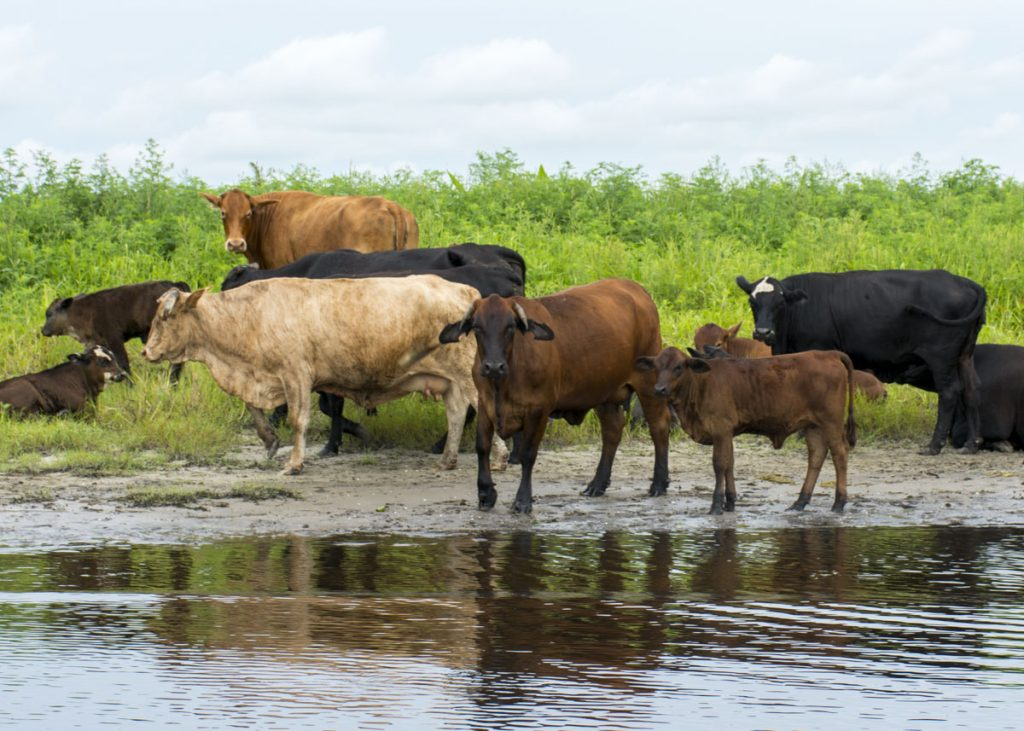 Cattle on the edge of the St. Johns River