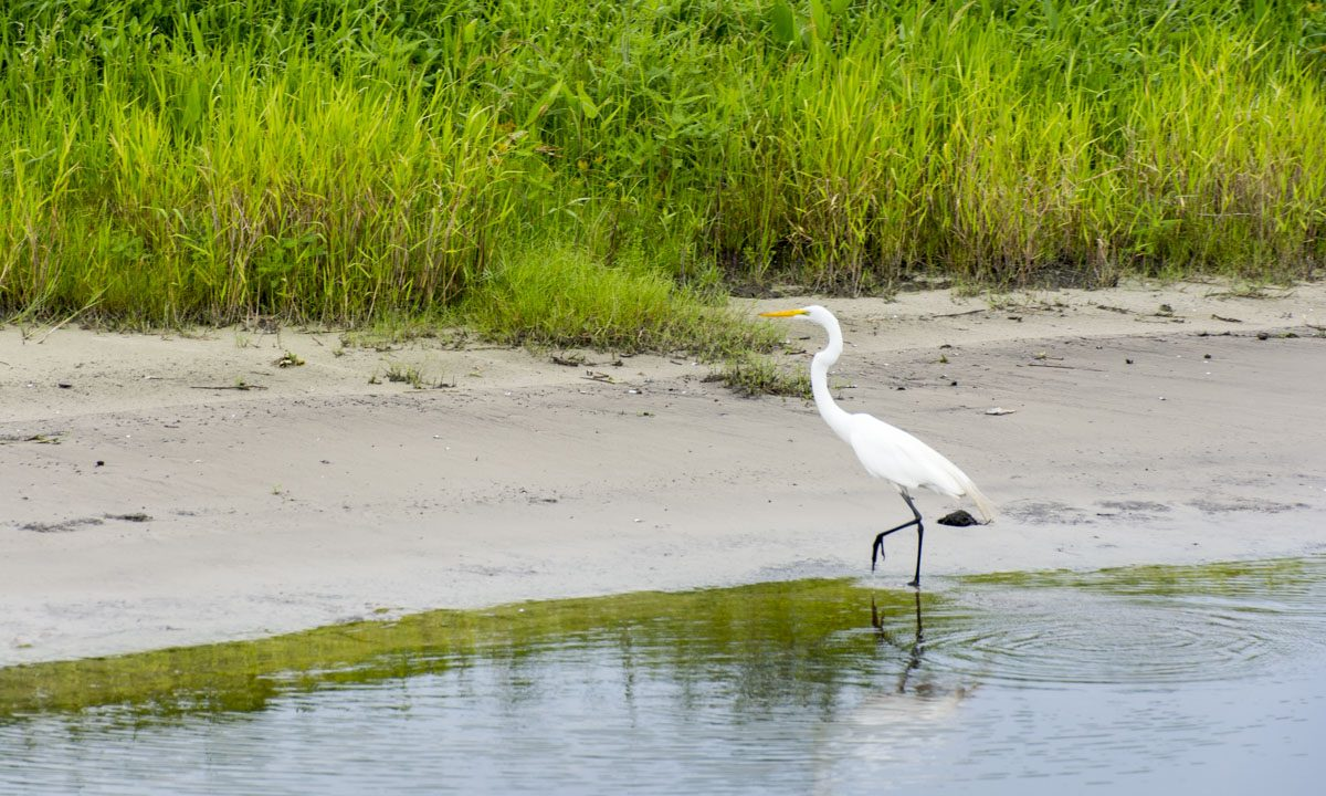 Egret along the edge of the St. Johns River