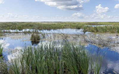 Wetland cell at Lake Apopka North Shore