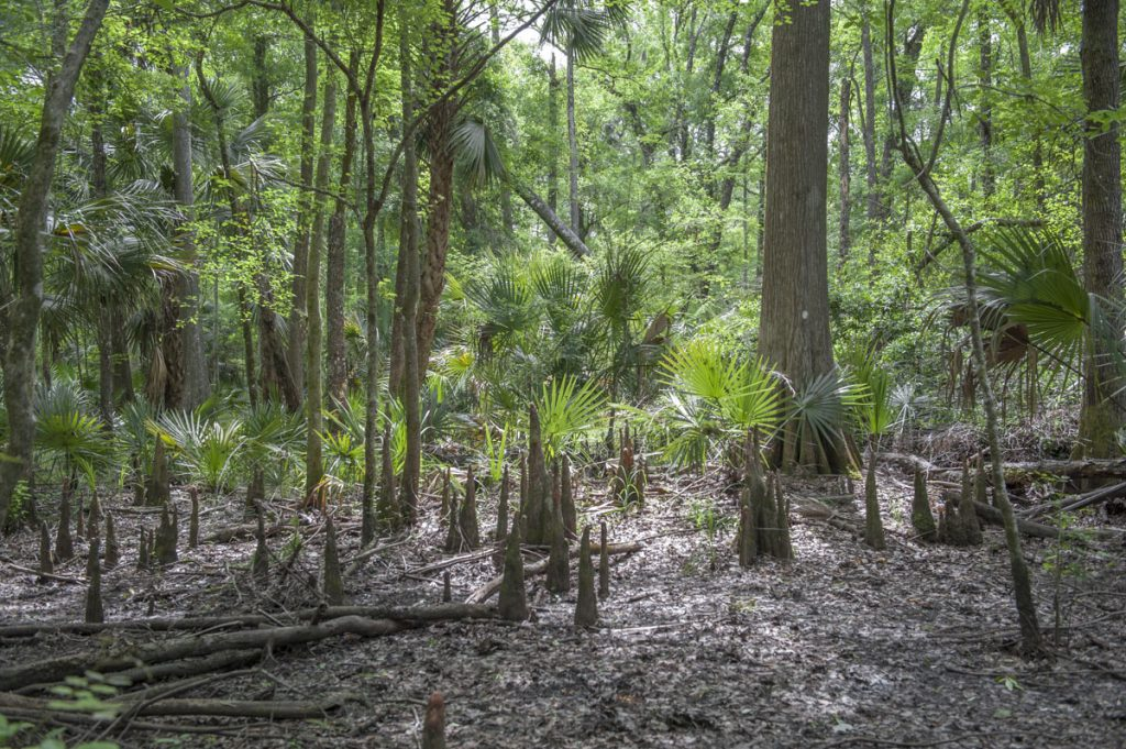 Cypress knees at Silver Springs Forest