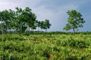 Palmetto and Longleaf pine at Hal Scott Regional Preserve and Park