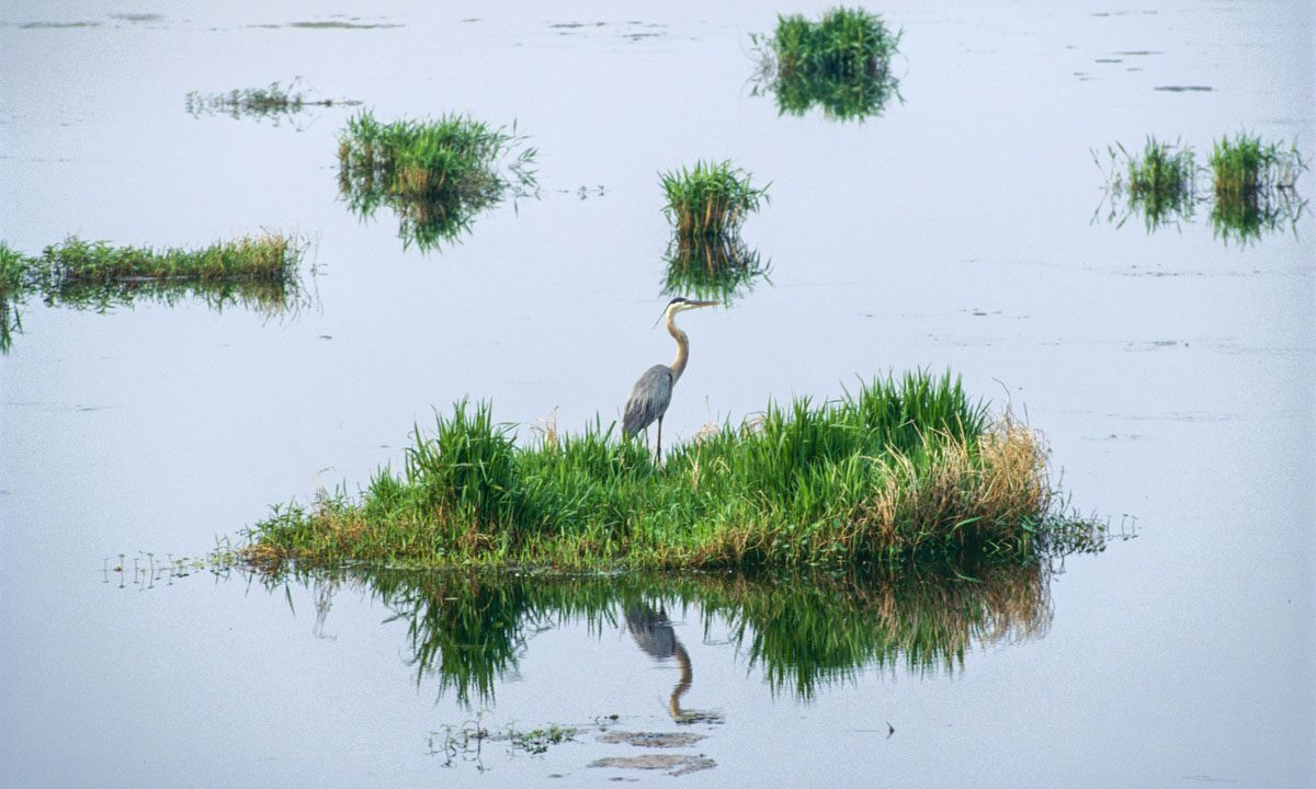 Great blue heron standing out in marsh