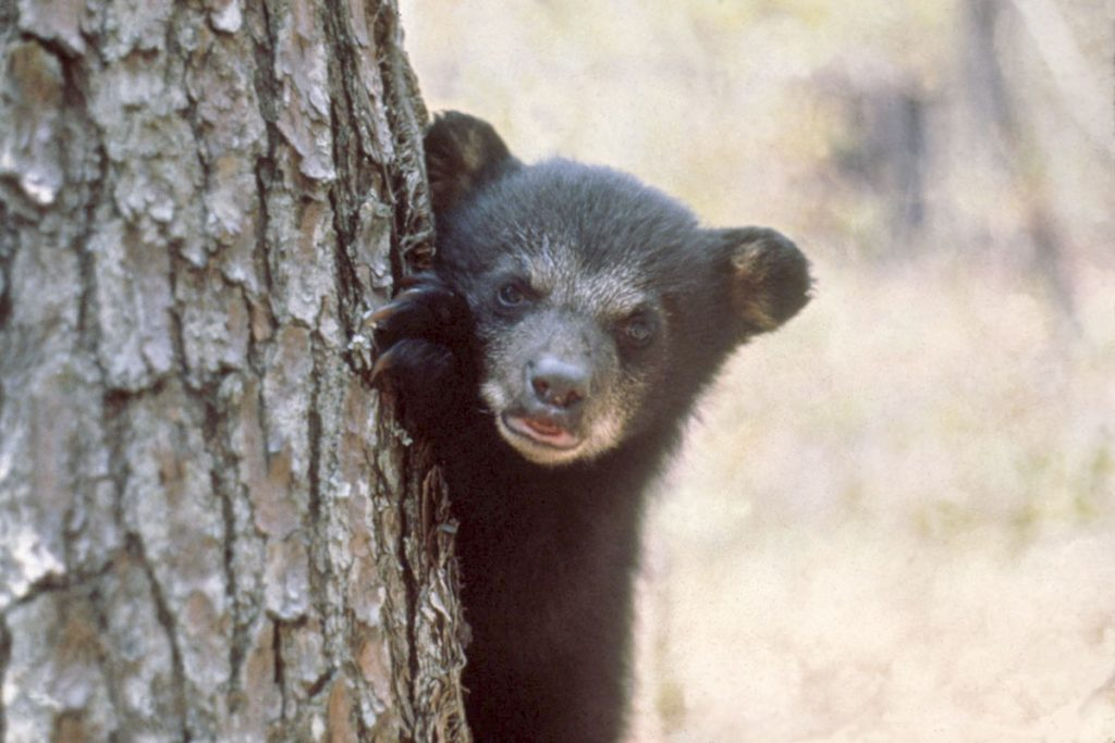 Black bear cub on the side of a tree