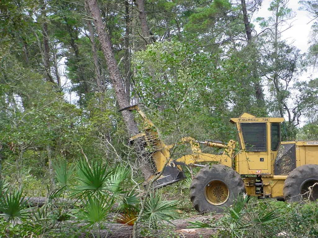Tractor cutting down sand pine trees