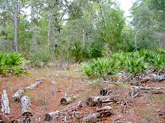 Area where sand pine have been cut down