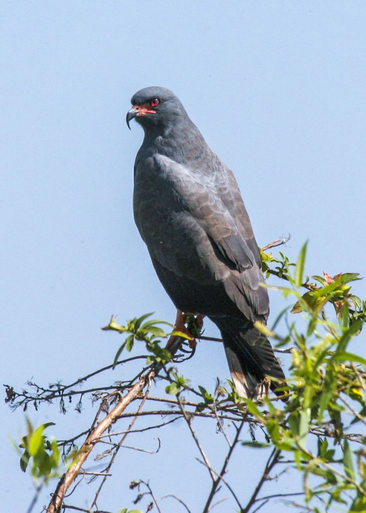 Snail Kite in the top of a bush