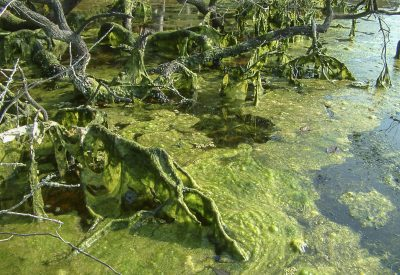 Algal bloom in the St. Johns River - August 24, 2003