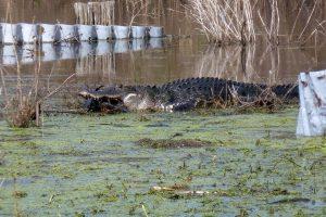 Alligator eating a fish