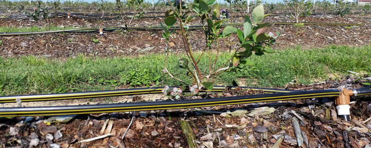 Micro-drip irrigation at a blueberry farm