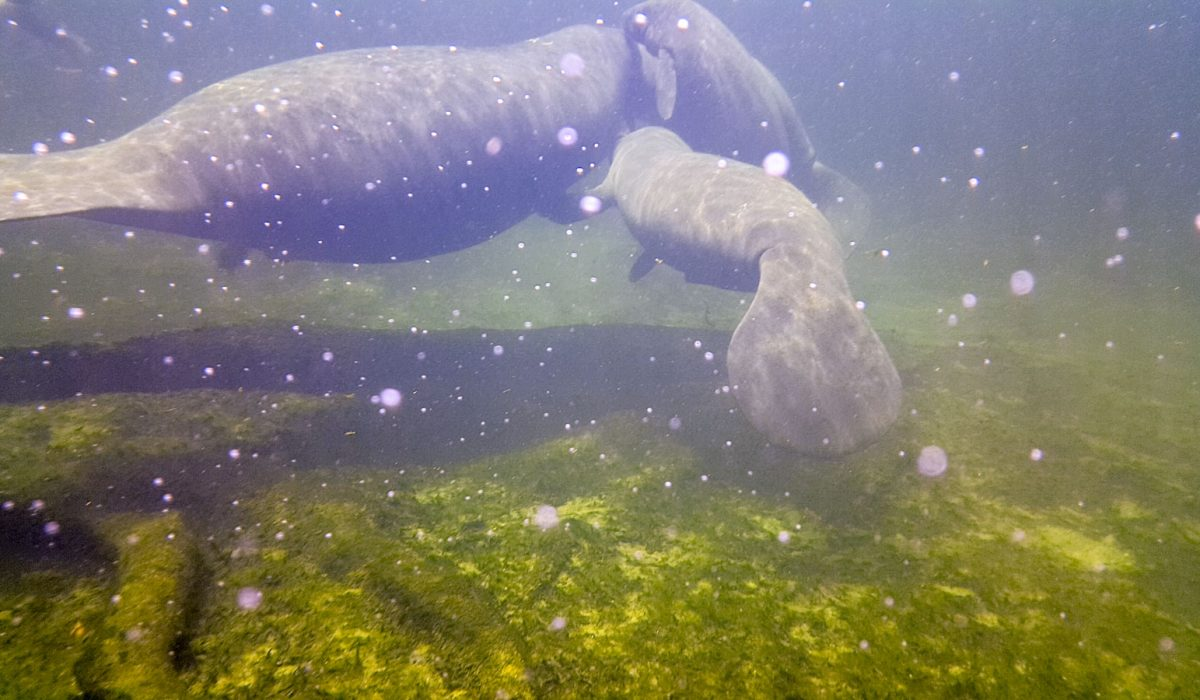 Manatee at Blue Spring in Volusia County