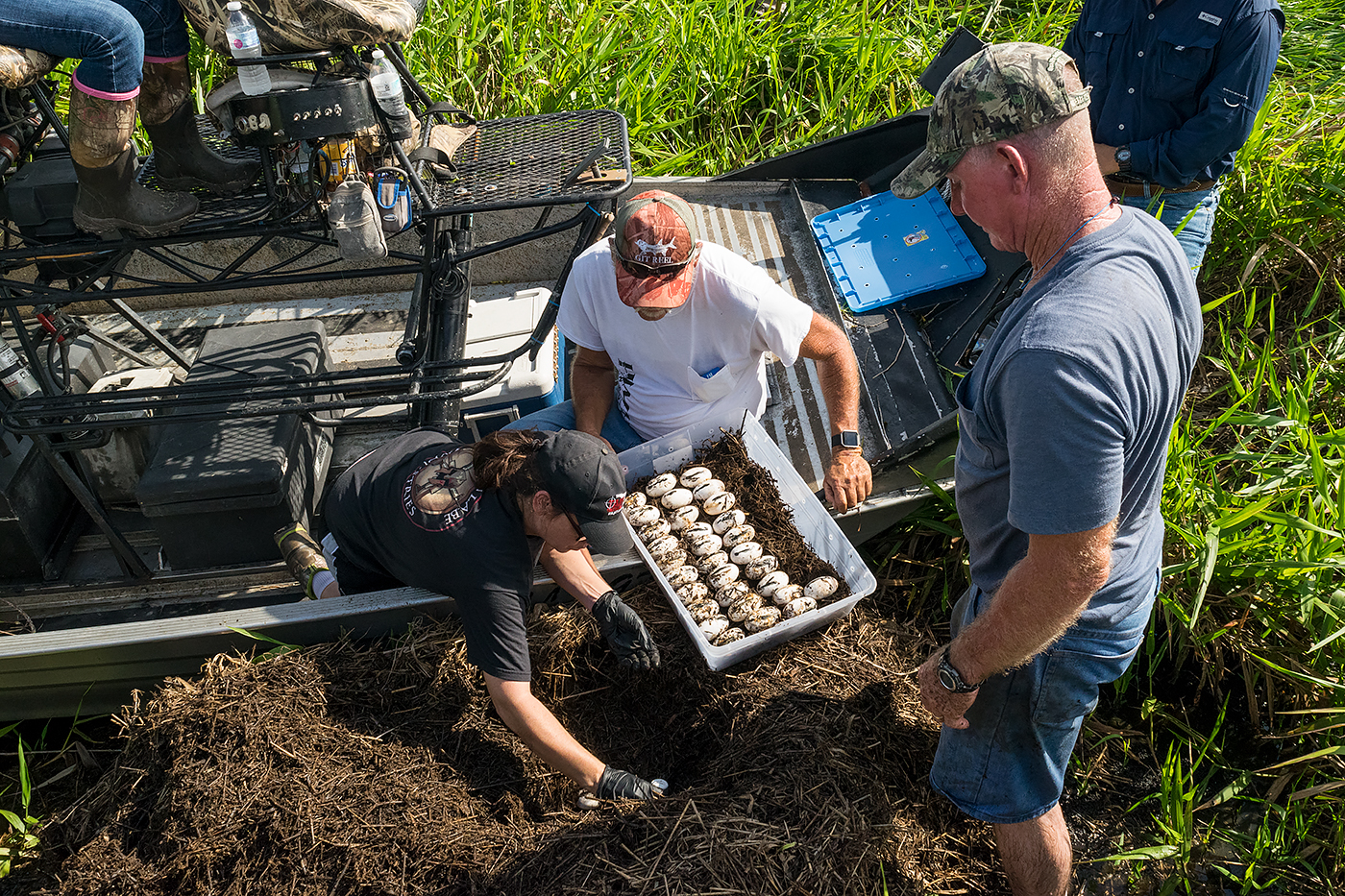 People harvesting alligator eggs from an airboat