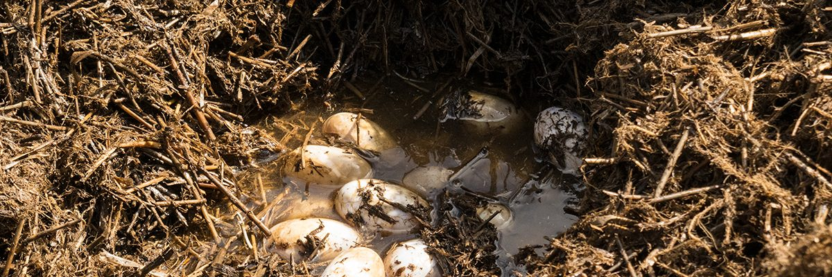 Alligator eggs in a nest