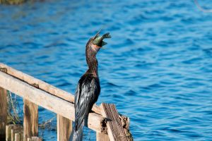 An anhinga eating a fish at the Lake Apopka North Shore