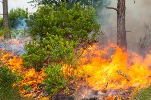 Fire burning through pine flatwoods