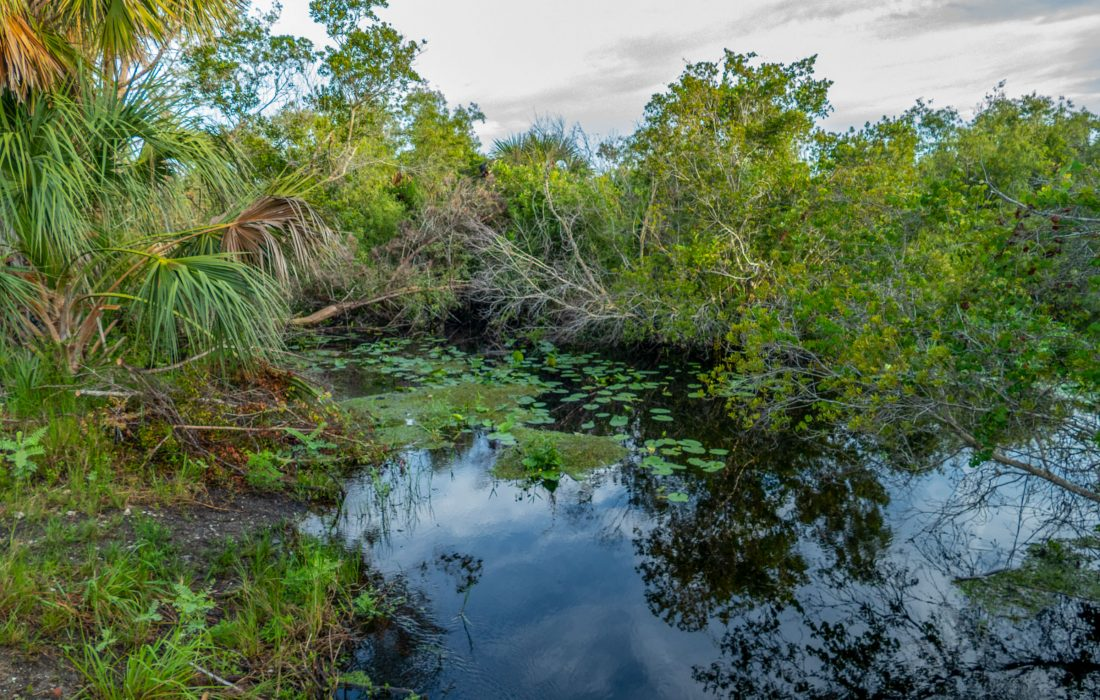A snall wetland pond with cabbage palms