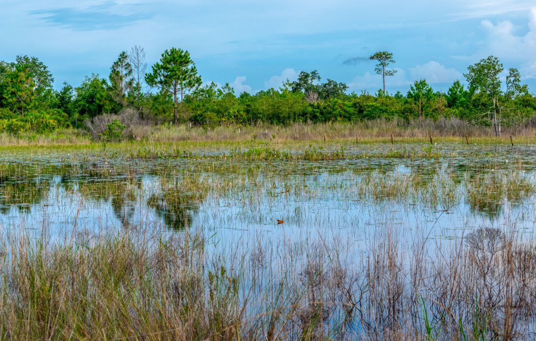 A wetland stretching back to the edge of a pine forest