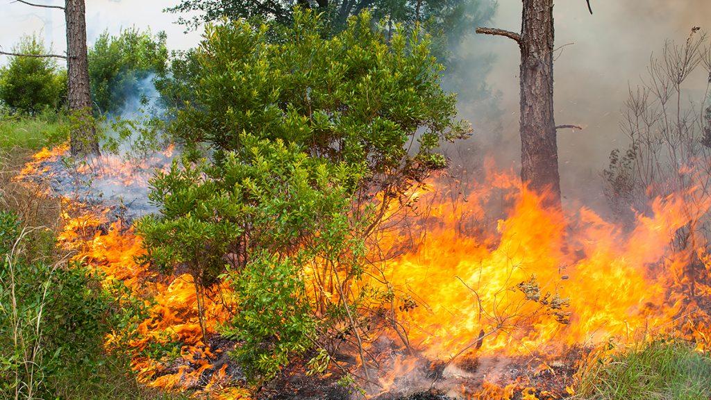 Fire burning through pine flatwoods
