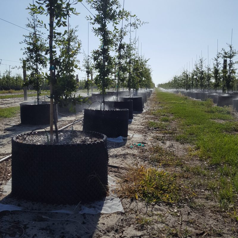 Trees beign watered with micro emitters at a tree farm