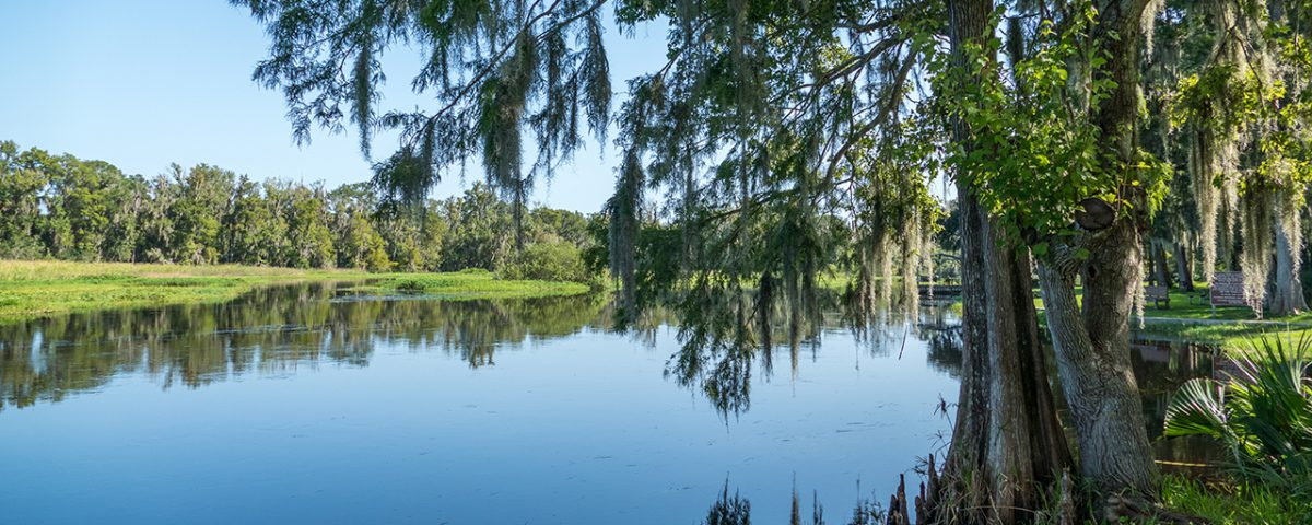 Cypress trees stretching over the Wekiva River