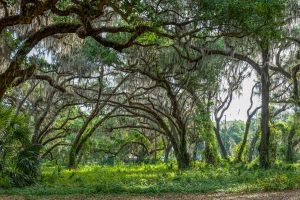 Live oaks at Sunnyhill Restoration Area