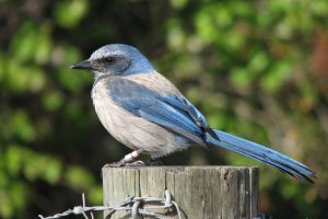 Scrub jay sitting on a post